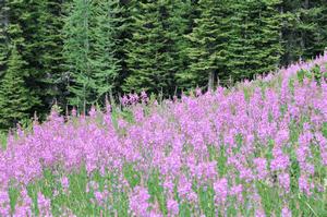 Цветение кипрея привлекает множество пчел и насекомых